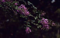 Crespón Myrtle púrpura Imagen de archivo libre de regalías