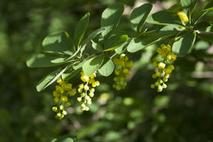 Crespino (Berberis vulgaris) Immagini Stock