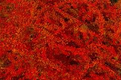 Crespino rosso delle foglie di autunno Fotografia Stock Libera da Diritti