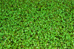 Cress Royalty Free Stock Images