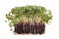 Cress. Photograph of fresh Cress, shot in studio against a white background Royalty Free Stock Photos