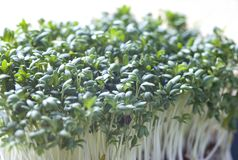 Cress Stock Photo