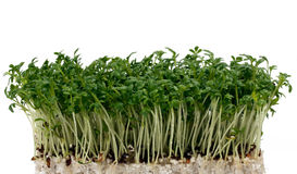 Cress Royalty Free Stock Image