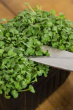 Cress being cut with scissors Royalty Free Stock Photography