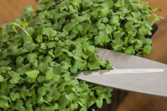 Cress being cut with scissors Stock Photos