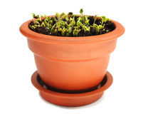 Cress in ceramic pot Royalty Free Stock Image