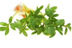 Cress close-up Royalty Free Stock Image