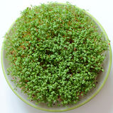 Cress, cuckooflower Stock Image