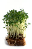 Cress isolated against white Stock Image