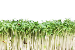 Cress isolated Royalty Free Stock Photography
