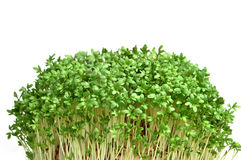 Cress isolated on white background. Young plants. Royalty Free Stock Images
