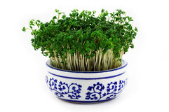 Cress in the pot Stock Images