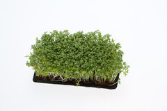 Cress rozsady Fotografia Stock