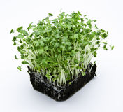 Cress salad Stock Photo
