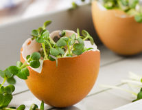 Cress salad in an eggshell Stock Image
