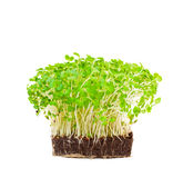 Cress salad isolated Royalty Free Stock Photo