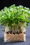 Cress Salad Macro Shot fresco Fotografia Stock Libera da Diritti