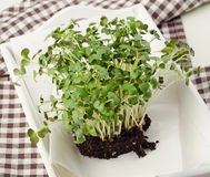 Cress salad in  white wooden box. Royalty Free Stock Photo