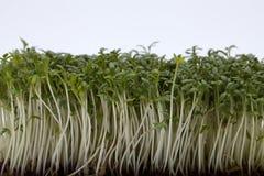 Cress seedlings Stock Photo