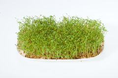 Cress seedlings Royalty Free Stock Photography