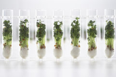 Cress seedlings growing in test tubes Royalty Free Stock Photos