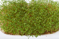 Cress seedlings Stock Images