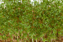 Cress seedlings Royalty Free Stock Photos