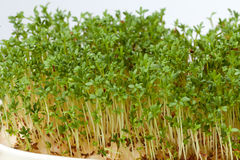 Cress seedlings Royalty Free Stock Photo