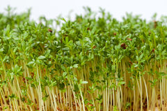 Cress seedlings Stock Photos