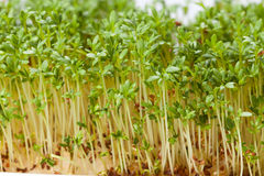 Cress seedlings Royalty Free Stock Images
