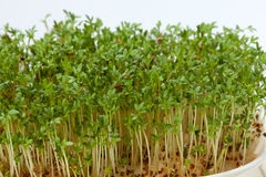 Cress seedlings Stock Photo