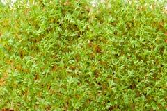 Cress seedlings Royalty Free Stock Photos