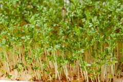Cress seedlings Stock Image
