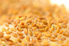 Cress seeds Royalty Free Stock Photography
