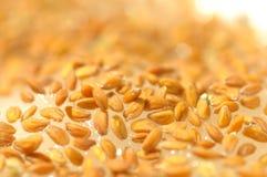 Cress seeds. Closeup of cress seeds planted to grow Royalty Free Stock Photography