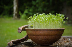 Cress. Slightly spicy herb often used in cooking Royalty Free Stock Photos
