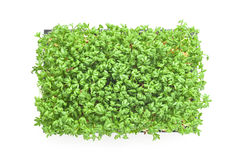 Cress sprouts Stock Photography