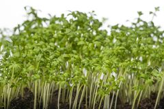 Cress sprouts Lepidium sativum. Isolated on a white background Royalty Free Stock Photography