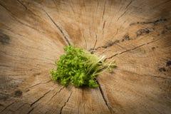 Cress sprouts Lepidium sativum. On a wooden background Stock Photo