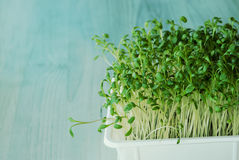 Cress sprouts Stock Photo