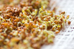 Cress sprouts. Stock Photo