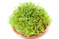 Cress. Valuable source of vitamins Stock Image