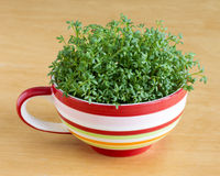 Cress or watercress Stock Photography