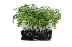 Cress on white Stock Photo