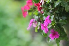 Cresson fleurissant Photos stock
