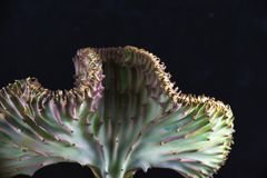 CREST Eurphorbia Lactea κάκτων κοραλλιών που απομονώνεται πέρα από το Μαύρο Στοκ εικόνα με δικαίωμα ελεύθερης χρήσης