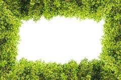 Crest il confine isolato mangrovia per fondo, pianta verde Immagine Stock