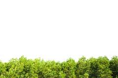 Crest la frontera aislada mangle para el fondo, planta verde Fotos de archivo libres de regalías