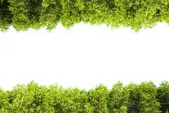 Crest la frontera aislada mangle para el fondo, planta verde Fotografía de archivo libre de regalías