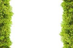 Crest la frontière d'isolement par palétuvier pour le fond, plante verte Images stock